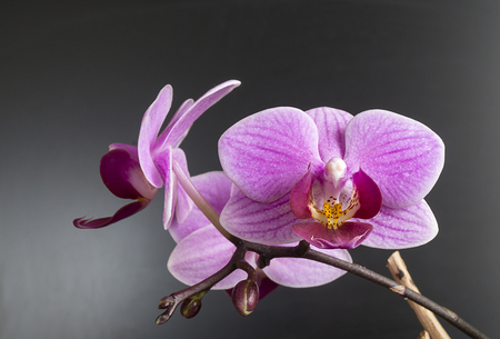 Beautiful flower to rose orchid on dark background