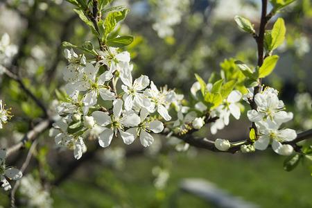 White flower discharges in spring garden on background green sheet