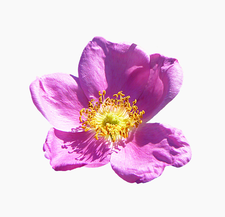 Flower of the wild rose of the rose colour insulated on white background