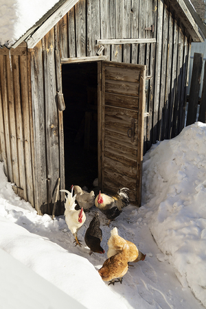 The Hens beside wooden henhouse at winter solar day. Cocks observe as hens peck wheat on snow