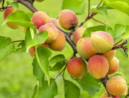 Ripe apricots on background green sheet grow on branch in garden