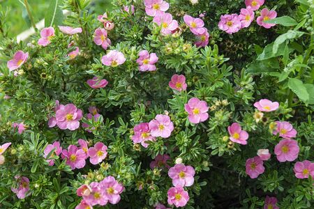Potentilla fruticosa in year garden on background green sheet. Natural background from colour