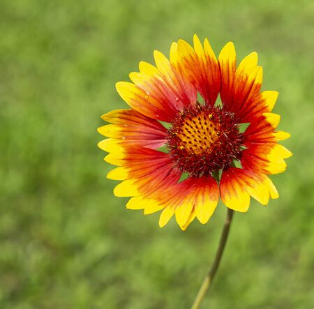 Flower gaillardia on green background grows in year garden at solar day