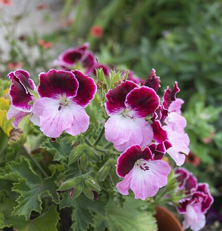 Flower pelargonium on background of the green herb grows in garden at year term of time