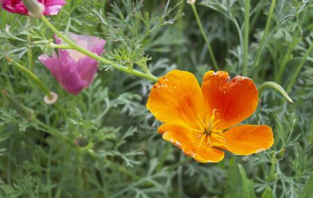 Beautiful orange flower on background of the green herb grows in garden by summer Zdjęcie Seryjne
