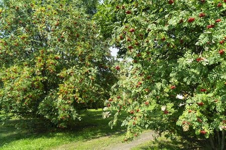 Berries of rowanberry on tree with green sheet in garden at autumn length of time