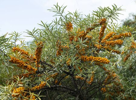 Hippophae on branch with green sheet in garden at year term of time