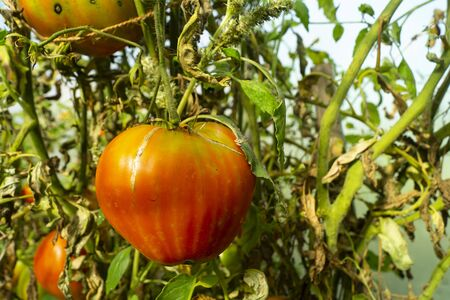 Ripe red tomato on green branch in hothouse at year term of time