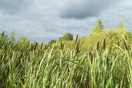 Autumn landscape with marsh plant bulrush at solar day
