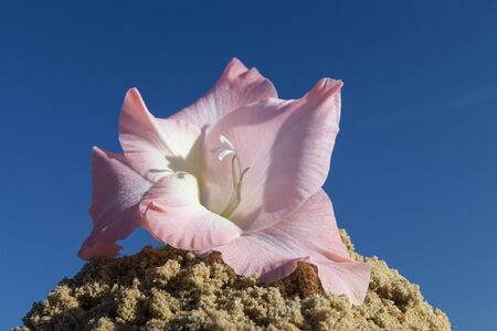 Flower of the gladiolus on song on turn blue background a sky at solar day Zdjęcie Seryjne