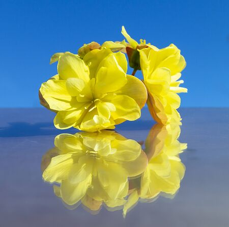 Flower begonia with reflection on glass on turn blue background at solar day by summer