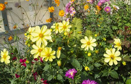 Beautiful flower dahlia grows on flowerbed at solar day by autumn