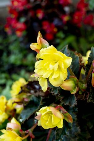 Flower begonia on dark background grows in garden at year day