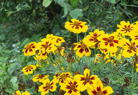 Flower Coreopsis on background green sheet grow in garden at year term of time
