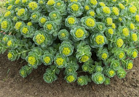 Rhodiola rosea blossom by springtime at solar day.Beautiful green background Zdjęcie Seryjne