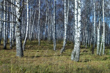 Natural background with birch by grove by autumn at solar day
