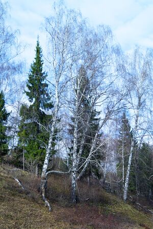 Birch on hill at autumn length of time on background blue sky with cloud