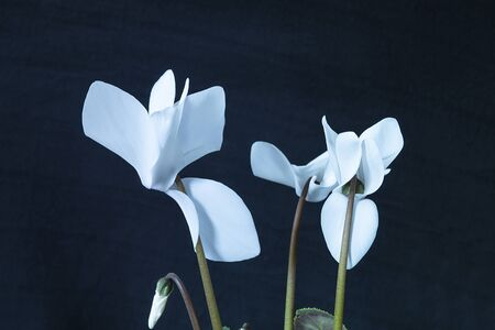 White Cyclamen on black background in flowering gap of time Zdjęcie Seryjne