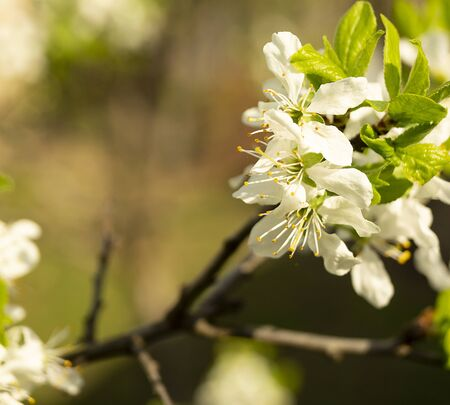 The Blossom discharges in spring garden at solar day.The Natural background with white flower.Selective focus on foregrounds