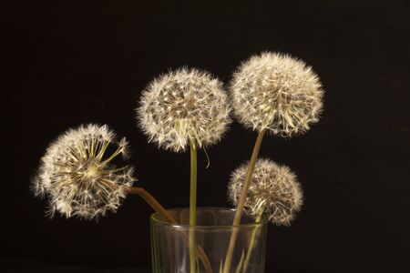 Dandelion with white umbrella on black background. Field flower at spring length of time