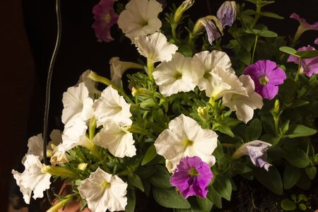 The Flower petunia on black background in pot. White and rose petal at spring length of time in garden