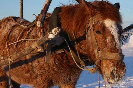 horse under the collar Stock Photo