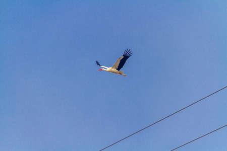 White stork flying in a blue sky not very high.