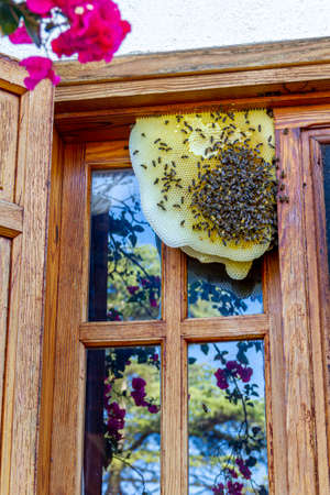 Bees on a honeycomb in a window of a house during the lockdown