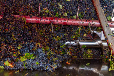 Grapes of the Bobal variety collected from the harvest just unloaded into the winery's hopper for processing