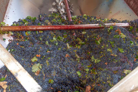 Grapes of the Bobal variety, freshly unloaded into the harvest reception hopper in a winery in the La Manchuela area (Spain)