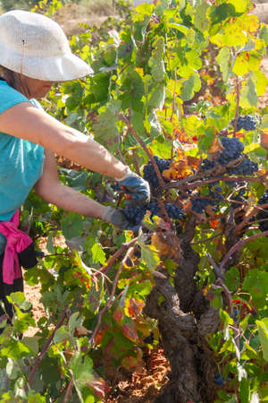 Harvester cuts the grape bunches of the Bobal variety of the strain in the area of La Manchuela in Fuentealbilla, Albacete (Spain) Stock Photo