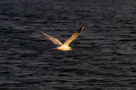 Slender-billed gull flying over the waters of the lake