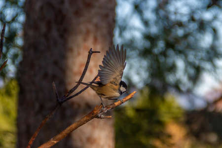 Coal tit (Periparus ater) with outstretched wings ready to take flight from a branch.