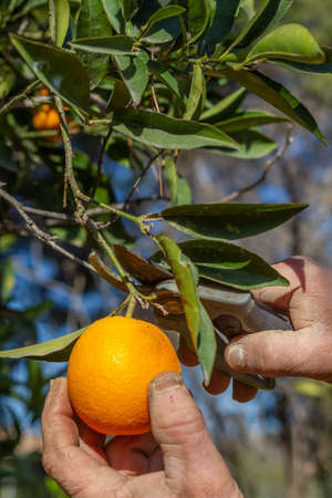 Farmer harvests an orange. The hands of a farmer cut an orange in an orange tree with pruning shears in Valencia, Spain.