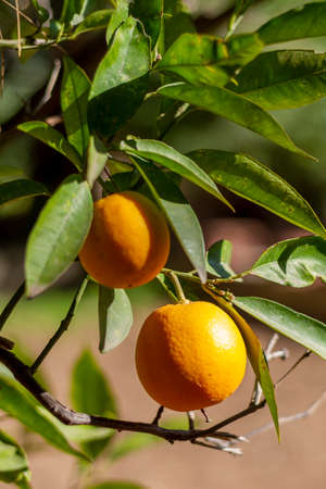 Oranges ready to be harvested in an orange tree in Valencia, Spain. Two oranges in the foreground surrounded by green orange leaves in an orchard.