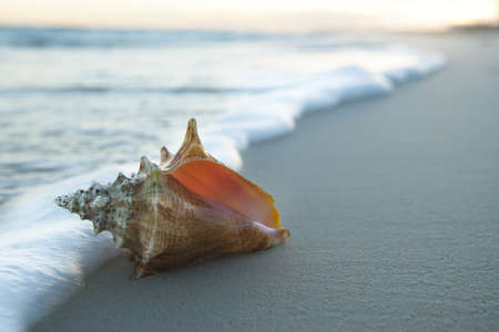 A beautiful  seashell laying on the sand early in the morning