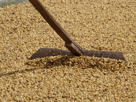 コーヒーの乾燥