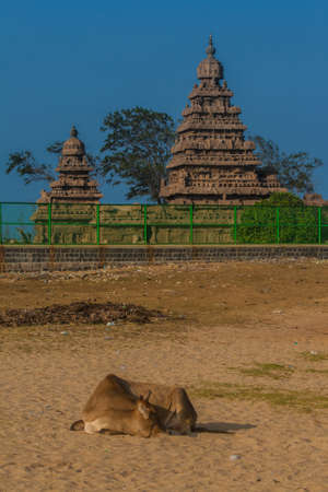 india cow: Cow and temple on the beach of Mamallapuram, Tamil Nadu (India)