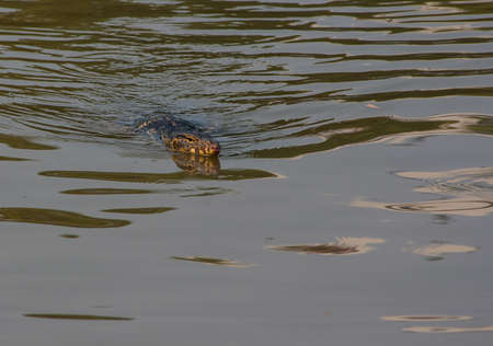 reptilian: Reptile in the lake of Lumpini Park, Bangkok