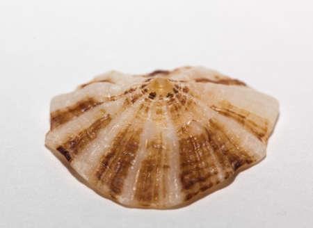 Limpet (Patella vulgata) isolated on white background Stock Photo