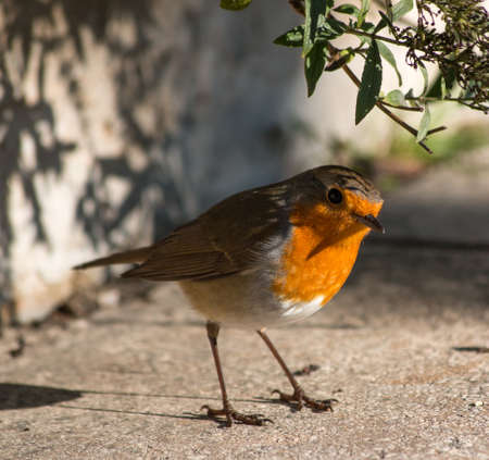 erithacus rubecula: Robin in the garden Stock Photo