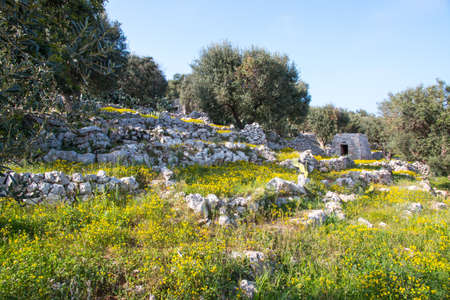 Mediterranean landscape in Salento with olive trees, stones and walls, Italy