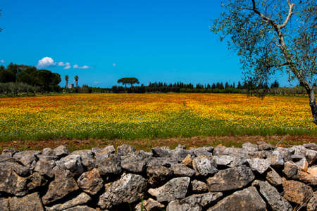 Mediterranean landscape whit olive trees, red poppies, yellow daisies and stone walls in Salento, Italy Stock fotó