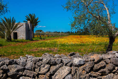 Mediterranean landscape whit olive trees, red poppies, yellow daisies and stone walls in Salento, Italy