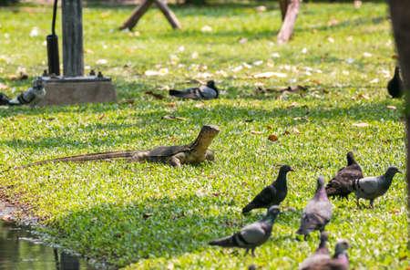Monitor lizard (Varanus salvator) live in Lumpini park, Bangkok