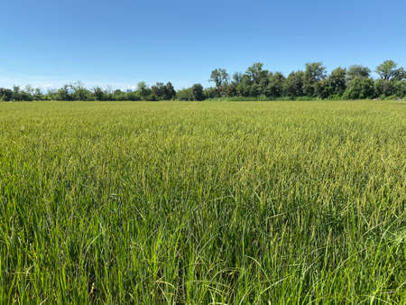 Rice cultivated field in Italy during a hot summer day