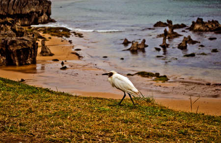 swell: Egret walking swell