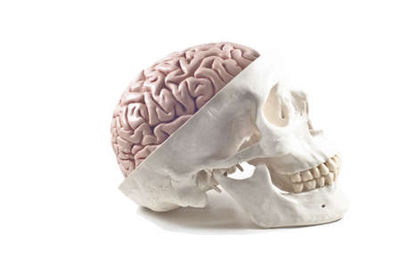 human jaw bone: Human skull with brain model,isolated