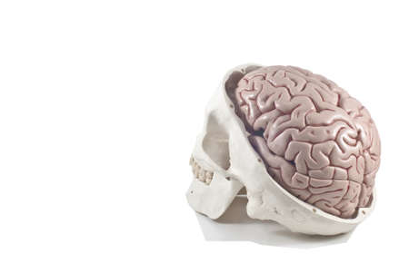 eye socket: Human skull with brain model,isolated