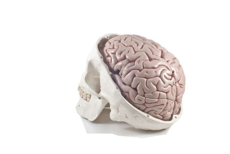 Human skull with brain model,isolated photo